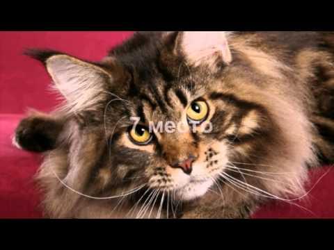 топ 10 самых дорогих пород кошек. Самые дорогие кошки, цена указана