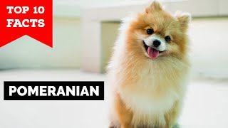 Pomeranian  Top 10 Facts