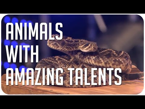 Animals with amazing talents on Got Talent from around the world!
