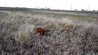 Венгерская выжла: работа по фазану