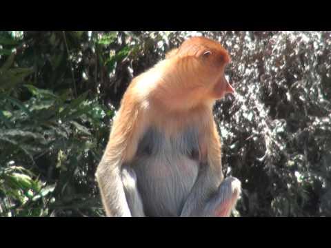 MONKEY BUSINESS (Proboscis,Sabah,Malaysia,Borneo)