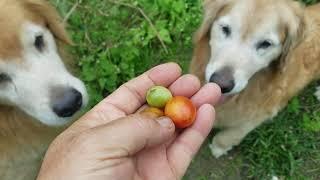 夏場は沢山のリコピンの補給に役立ってくれたトマトの残骸に残ったトマ...