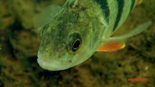 Рыбы Доломитового карьера