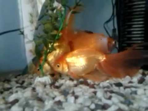 Анал у рыбок фото