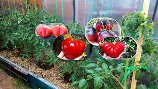 4 красавца сорта с крупными помидорами вырастут в моей теплице!
