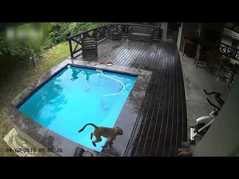 Dog & Joe Sho - Baboons Take Over Family Swimming Pool in South Africa