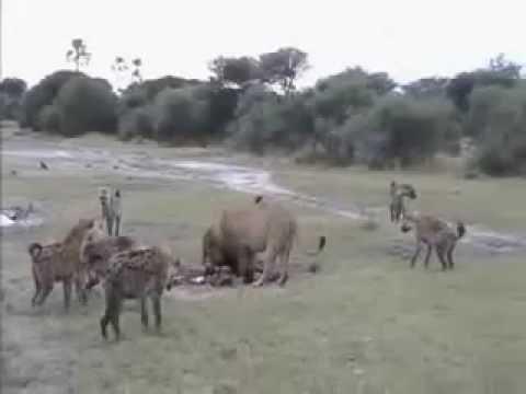 Three young male lions vs hyenas