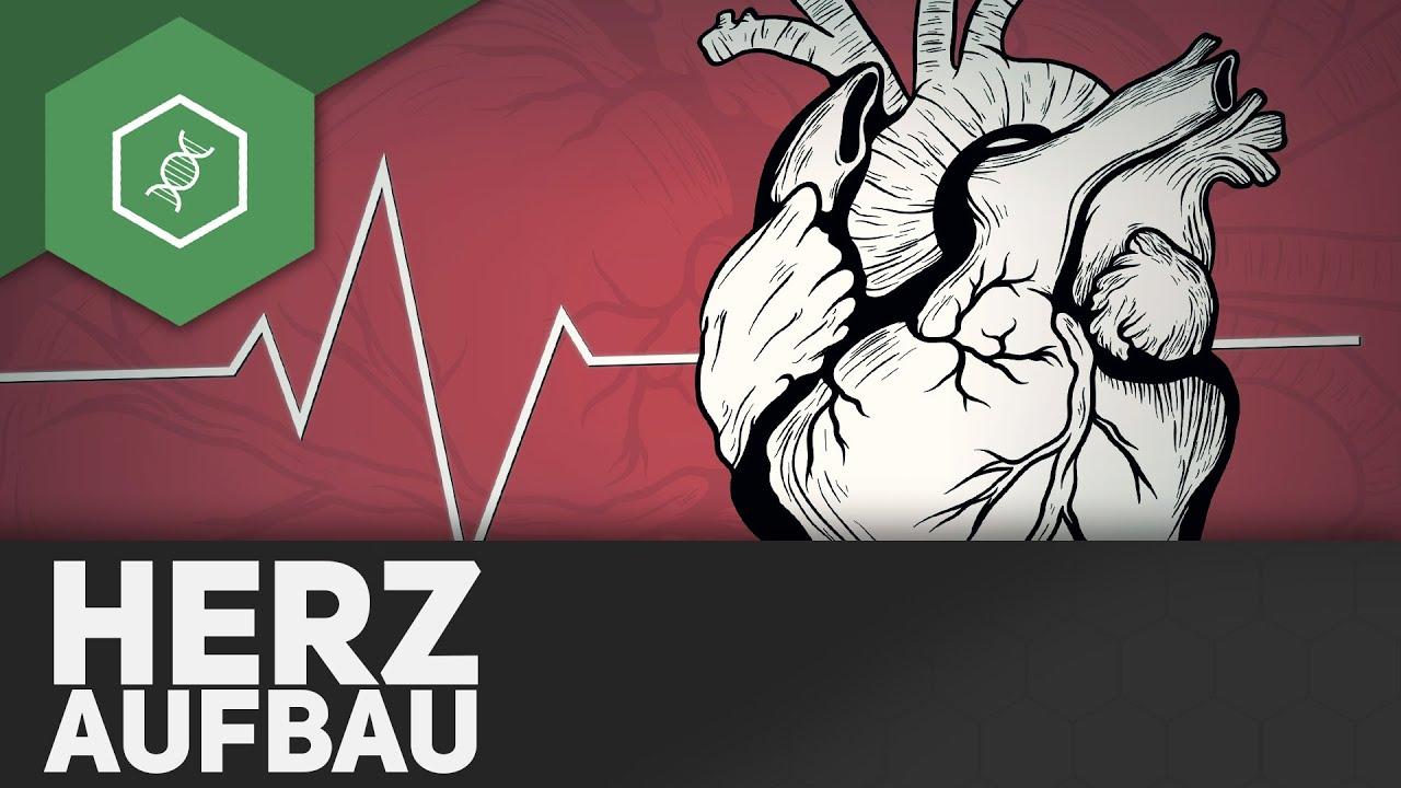 Der Aufbau des Herzens - YouTube