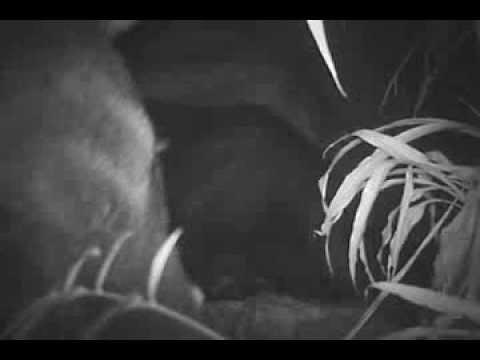 Camera trap: Tapirs