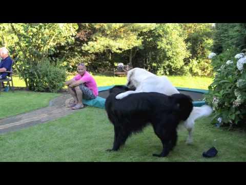 Golden Retriever vs Flat Coat Labrador