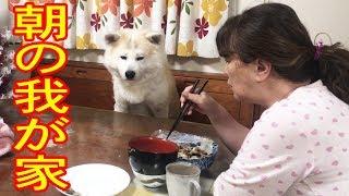 grandchild and #GermanShepherd dog#AkitaInu #秋田犬 どこの家庭でも...