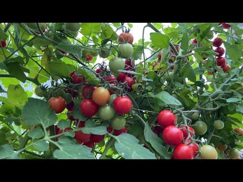 Всего две капли в августе ускорят созревание томатов!