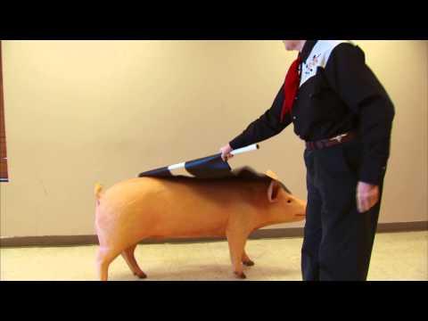 Pig Behavior - Farm Animal Livestock Welfare - Behaviour of