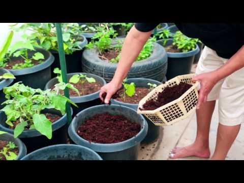 Terrace Garden | Easy way to grow Fruits &Spices Plants on Terrace Garden-Harish Mysore 6