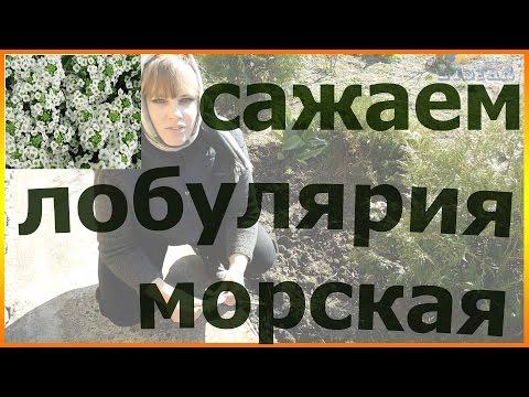 Как посадить лобулярию Сеем лобулярию Как сажать лобулярию уход посадка выращивание
