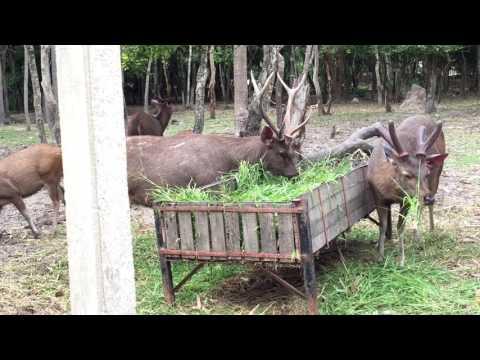 The sambar deer is eating grass