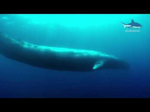 ballena azul - photo #24