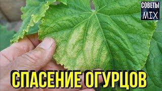 Вот что делать, если листья на огурцах уже начали желтеть