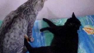 gato pirado