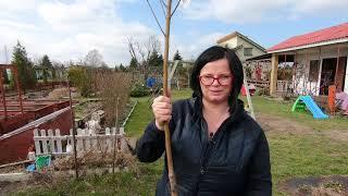JAK POSADZIĆ JABŁOŃ. Jak sadzić drzewka owocowe. Sadzenie drzewek owocowych.