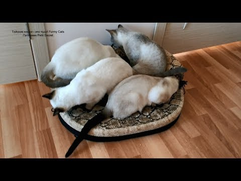 Как тайские котики осваивали свою новую лежанку-диванчик! Тайские кошки - это чудо! Funny Cats