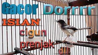 Download lagu Ciblek Semi Gacor Dor | Cisem Isian Prenjak Brem Cigun Dll | Masteran Ciblek Paling Dicari