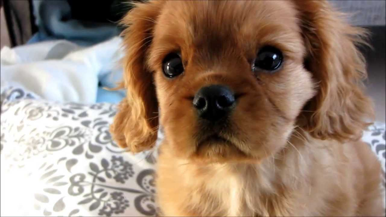 Cavalier King Charles Spaniel Rocco 11 Weeks Old Youtube