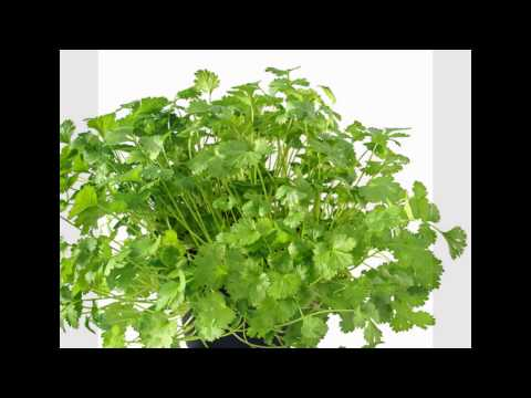 Coriander leaves have many medicinal properties.