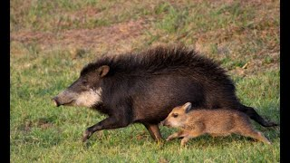Brazilian Savannah - Peccaries (Part 1)