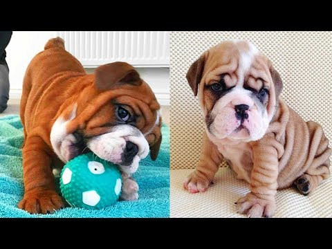 Cutest video compilationa about English Bulldogs (Mar) # 2 | 2019| Animal Lovers