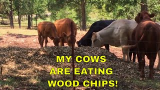 MY COWS ARE EATING WOOD CHIPS!