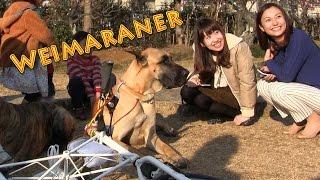梅祭りにお花見に行ってきました。ドイツの猟犬ワイマラナーと遊んだよ...