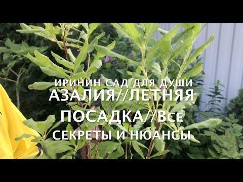 Вопрос: Как посадить азалии?