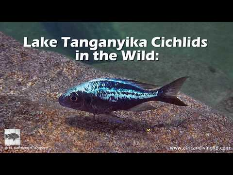 Lake Tanganyika Cichlids In The Wild: People And Places