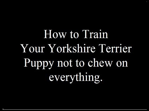 teaching-your-yorkshire-terrier-puppy-not-to-chew-everything-and-bite-visitors-free-mini-course--