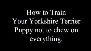 Teaching Your Yorkshire Terrier Puppy Not To Chew Everything And Bite Visitors Free Mini Course -