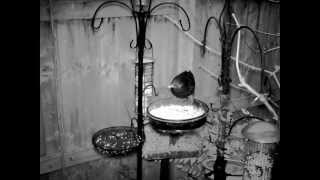 Garden Birds Feeding Blackbird In The Dark