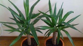 Юкка - неприхотливое комнатное растение. Рекомендации по уходу(Юкка - неприхотливое комнатное растение. Рекомендации по уходу https://youtu.be/d8zCYa2YunA Юкка (Yucca) - вечнозеленое..., 2015-06-16T16:58:22.000Z)