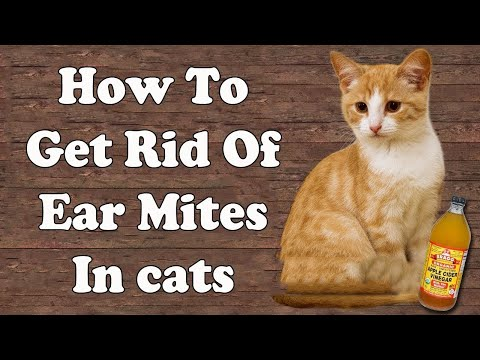 how-to-get-rid-of-ear-mites-in-cats-||-home-remedies-for-ear-mites-in-cats