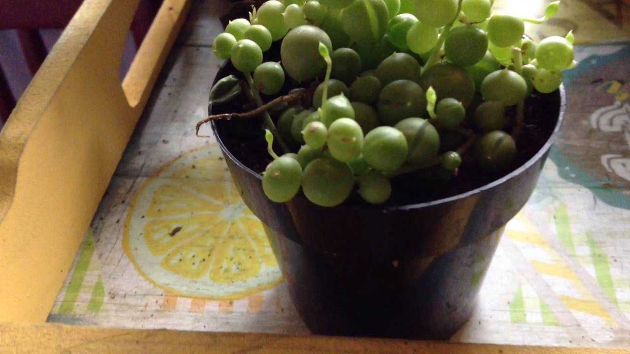 String of pearls plant care - String Of Pearls Care Mr Carnivorous Plants