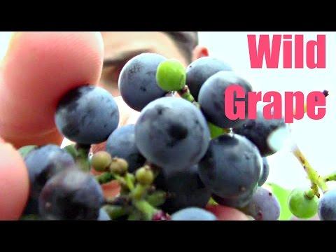 Wild Grape Review - Weird Fruit Explorer Ep 183
