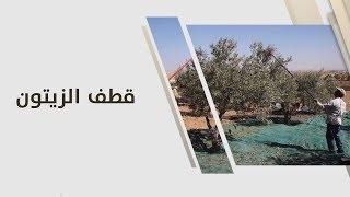 م. أمل القيمري - قطف الزيتون
