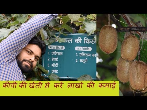 How To Start Kiwi Cultivation Complete Technical Knowledge in Hindi