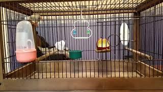 Зебровые амадины.  Какую клетку выбрать для птиц