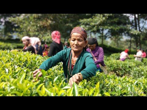 Bhujung Tea Documentary #Greentea