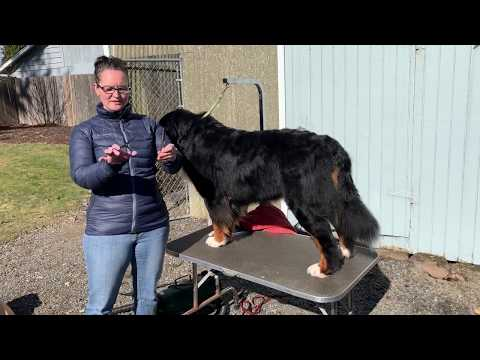 Grooming Video: How to groom Bernese Mountain Dog Feet