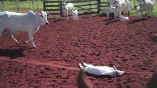 Nichts für Sensible:   Tierqual für Autoleder:  Rinder in Brasilien für Interieur von VW, BMW und Op