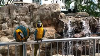 20190328, #macaw, #blueandyellowmacaw, #鸚鵡, #自由無價