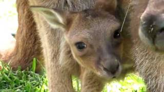 Maman et bébé Kangourou