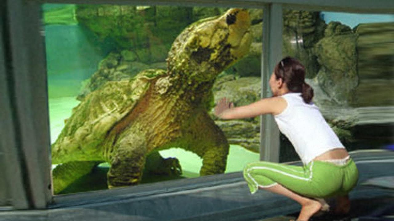 Image result for photoshopped image of living fossil giant snapping turtle with woman